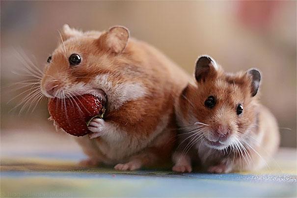 ハムスターとイチゴ