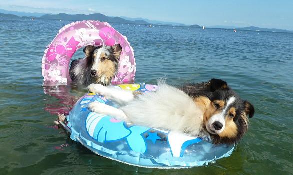犬 海で泳ぐ