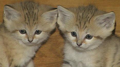 スナネコの2匹