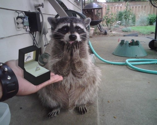 アライグマの結婚プロポーズ