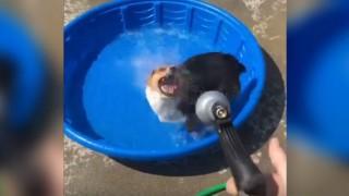 水をおいかけるコーギー犬