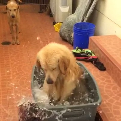 ゴールデンレトリバーの水浴び