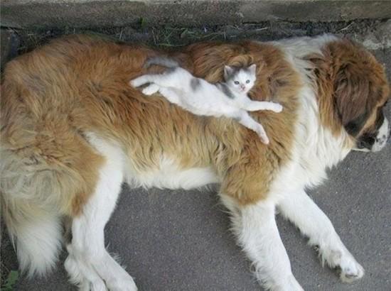 大型犬のおなかで寝る猫