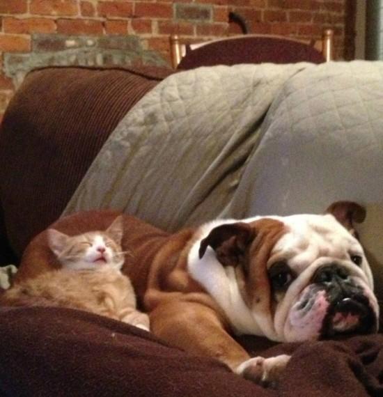 ブルドックと子猫