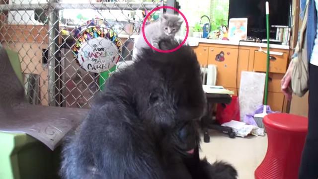 子猫を頭に乗せるゴリラ