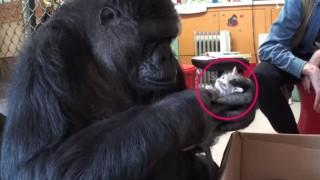 猫を抱くゴリラ