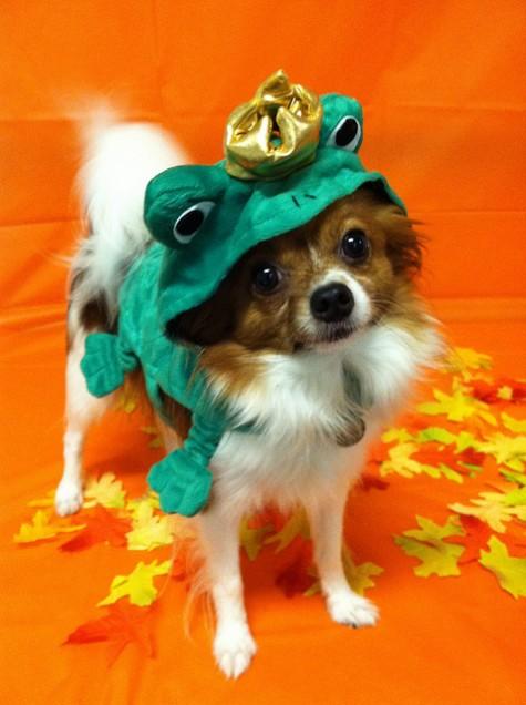 カエルの衣装のパピオン