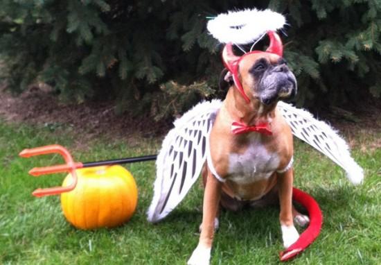 天使と悪魔のボクサー犬