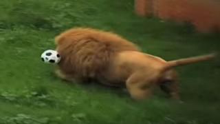 ライオンのサッカー