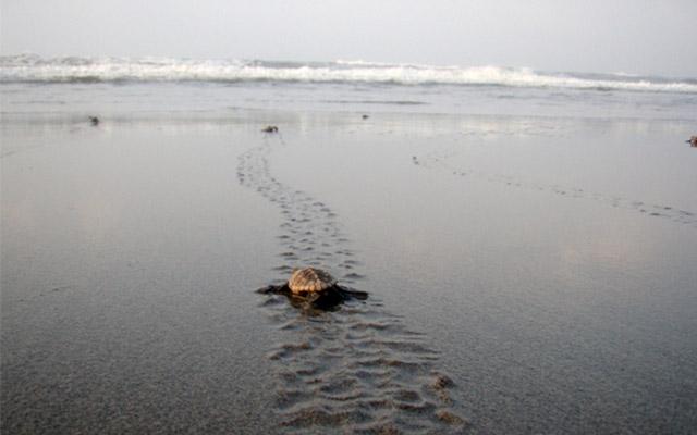 海に帰る子亀