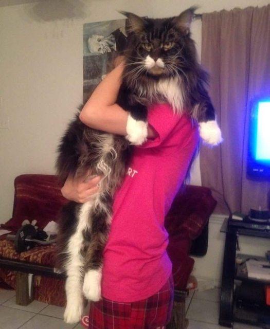 巨大猫メーンクーン5