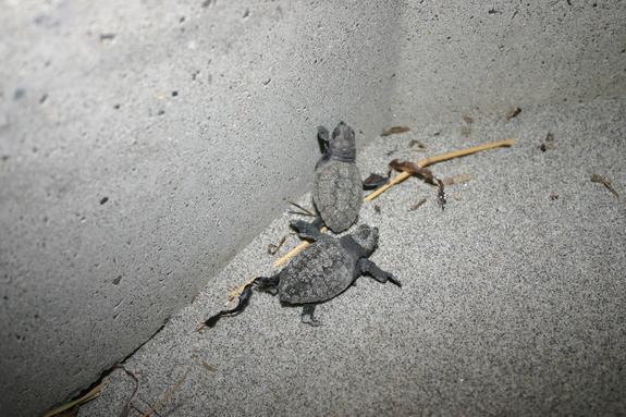 ブロックで死んだウミガメ2
