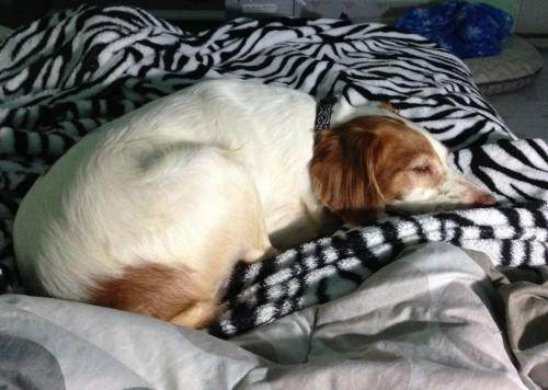 保護犬がベッドで寝る4