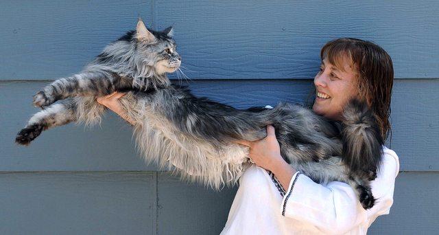 巨大猫メーンクーン4