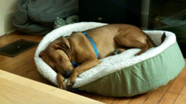 保護犬がベッドで寝る3