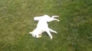 死んだふり犬