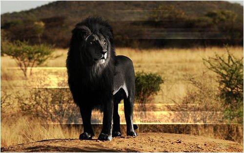 エラニズム黒いライオン