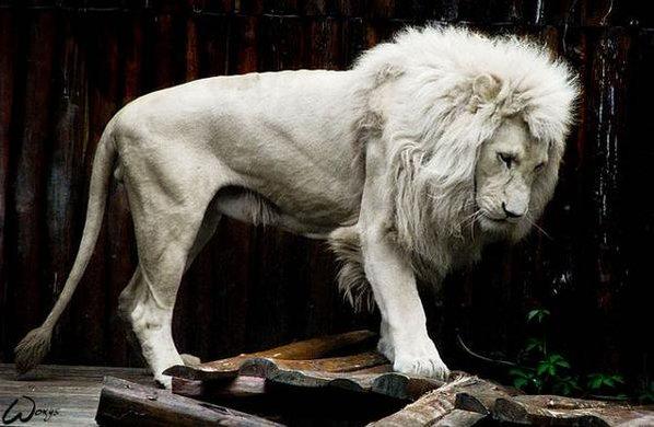 アルビノ白いライオン