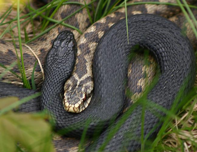 黒い蛇メラニズム