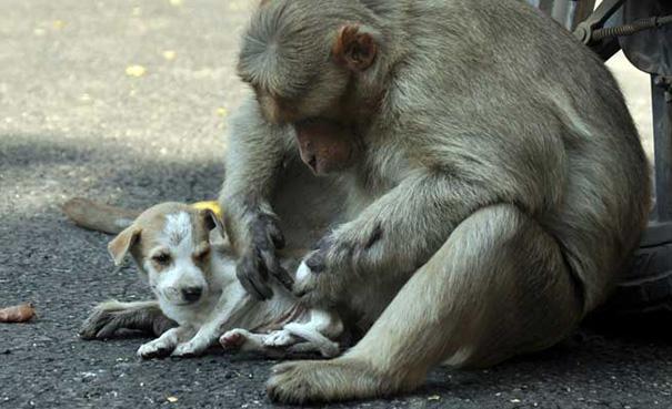 猿が犬を保護1