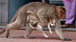 猿が犬を運ぶ