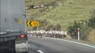 ヤギの大群