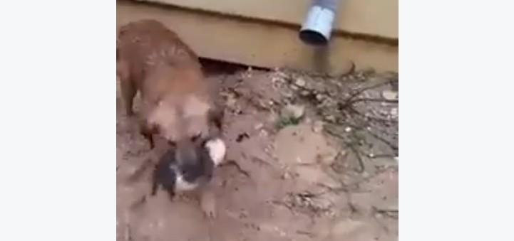 子犬を助ける母犬