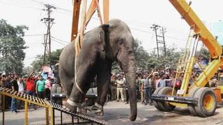 捕獲される象