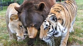 クマとライオン