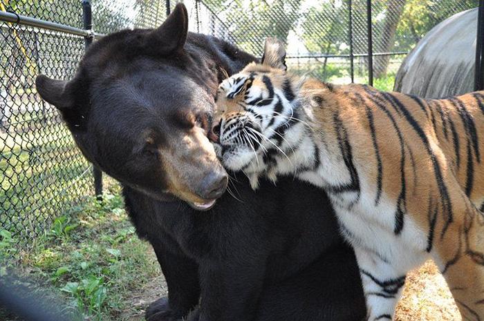 熊と虎とライオン1