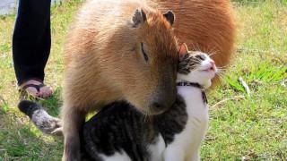 猫とカピバラ