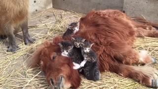 ポニーと子猫