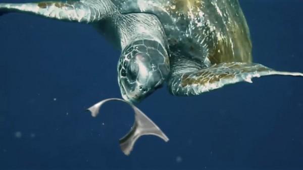 ウミガメがリング食べる様子