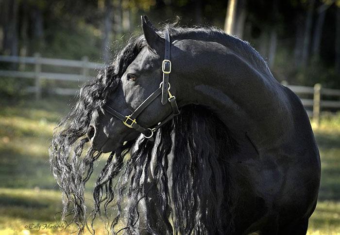 美しい黒い馬4