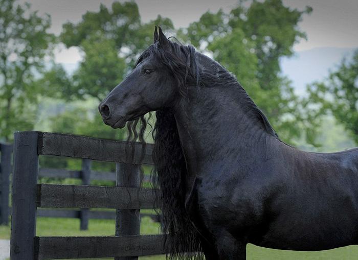 美しい黒い馬8