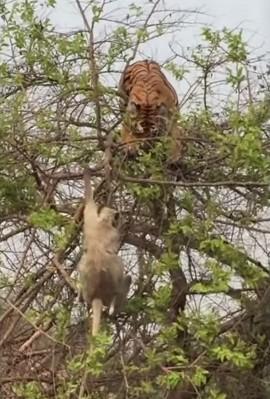 木に登るトラ