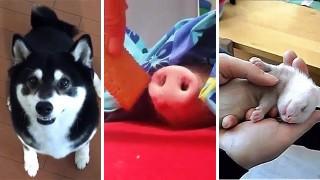 犬と豚猫などの動画