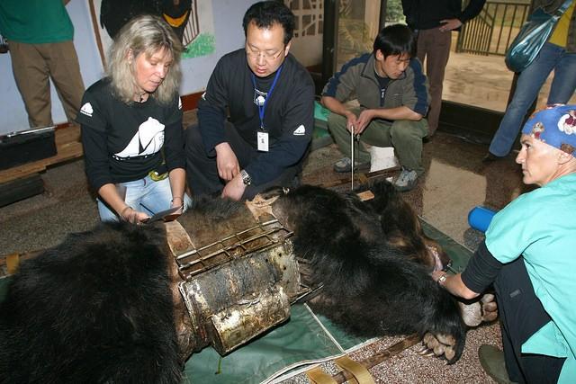 監禁され胆汁取られた熊1