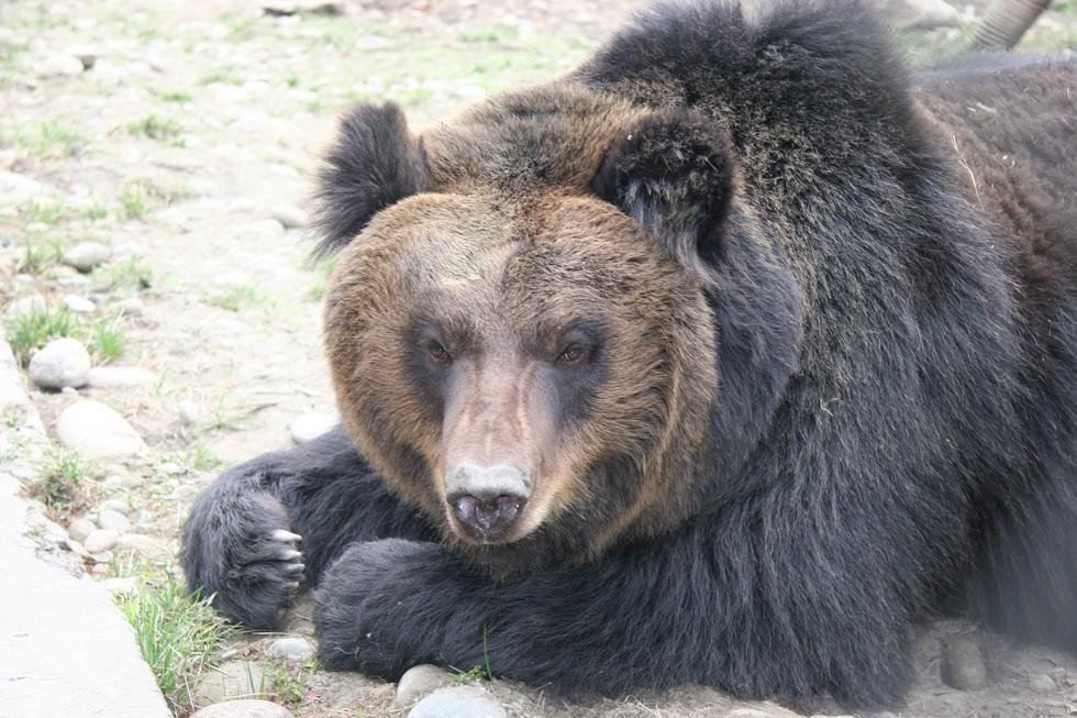 監禁され胆汁取られた熊7