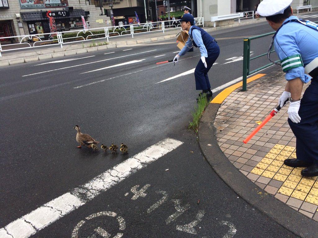 カルガモ親子道路横断
