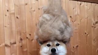犬の髪の毛マウンテン