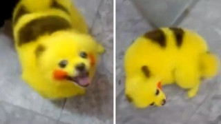 ピカチュウ犬
