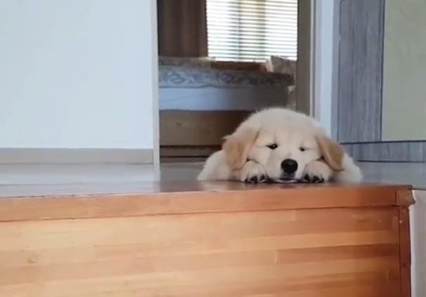 ゴールデンレトリバー子犬3