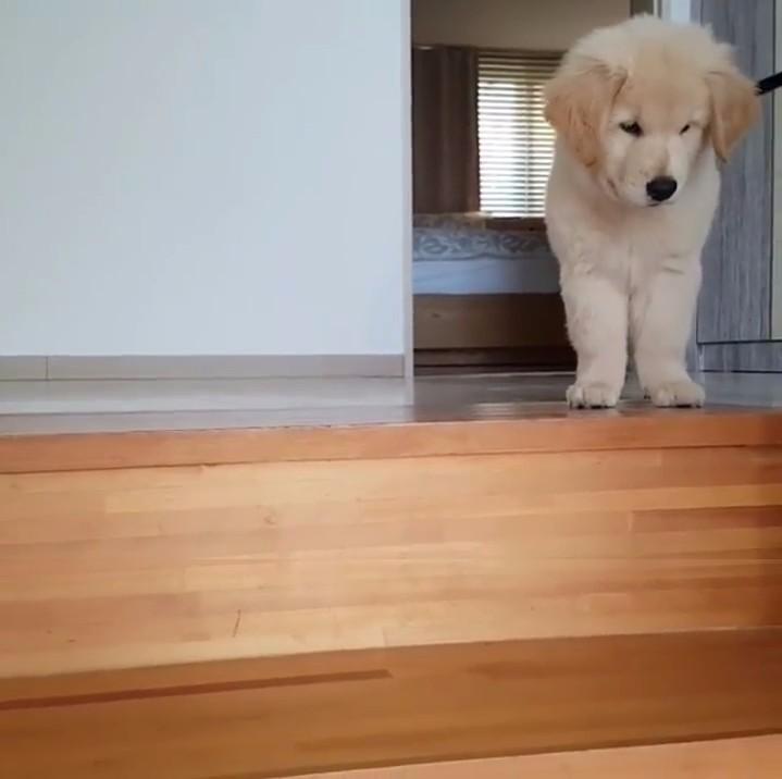 ゴールデンレトリバー子犬1