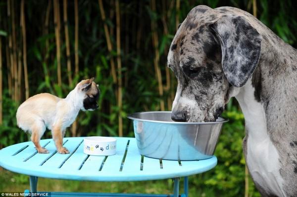 世界一大きい小さい犬3