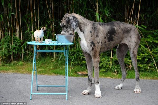 世界一大きい小さい犬5