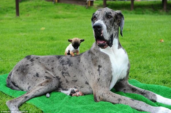 世界一大きい小さい犬2