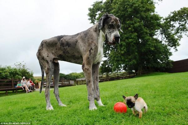 世界一大きい小さい犬1