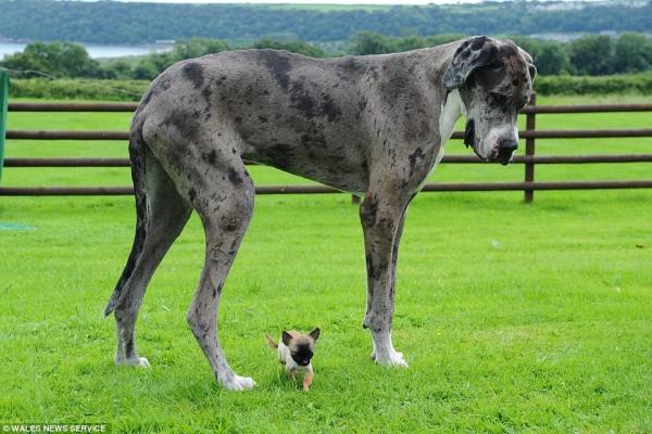 世界一大きい小さい犬4