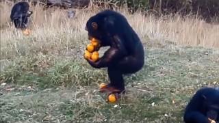 みかんを持つチンパンジー